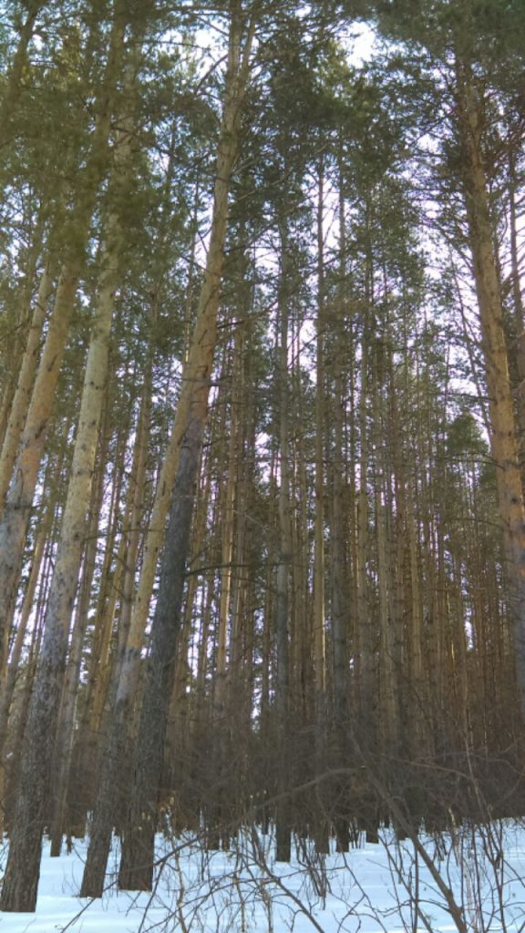 trees from russia